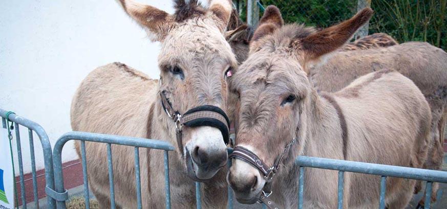 foire aux ânes moyaux calvados pays d'auge